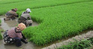 کود کشاورزی برنج