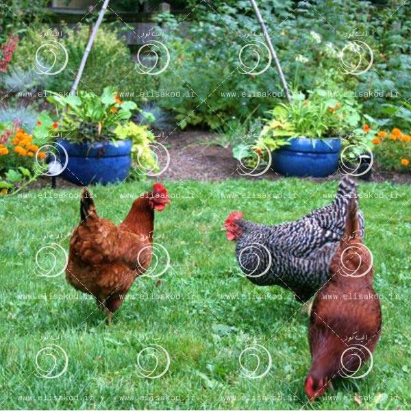 کود مرغی مایع ارزان